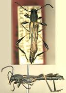 Image of <i>Acyphoderes dehiscens</i> Chemsak 1997