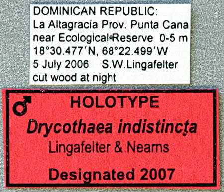 Image of <i>Drycothaea indistincta</i> Lingafelter & Nearns 2007