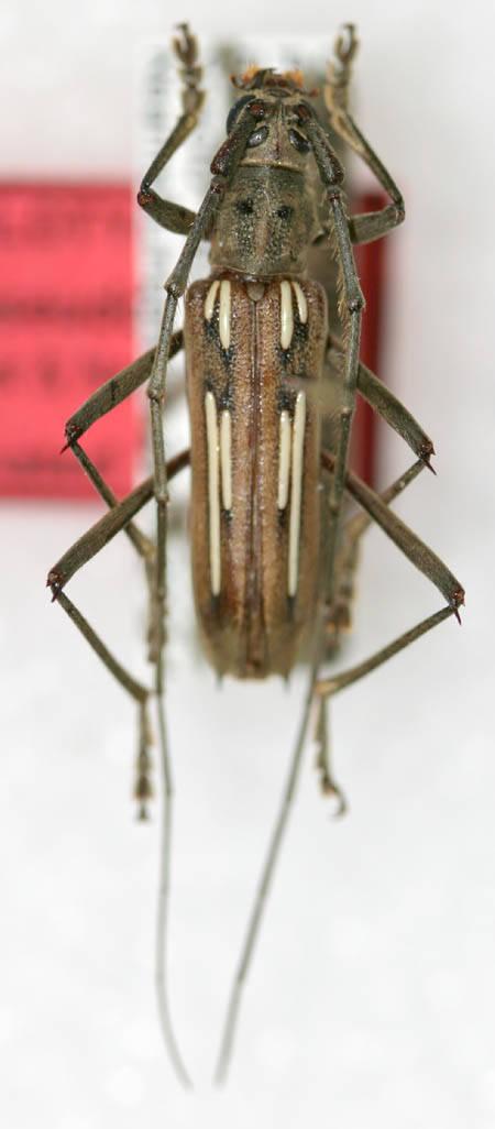 Image of <i>Eburia pseudostigma</i> Lingafelter & Nearns 2007