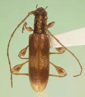 Image of <i>Plectromerus thomasi</i> Nearns & Branham 2008