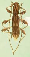 Image of <i>Curius chemsaki</i> Nearns & Ray 2006