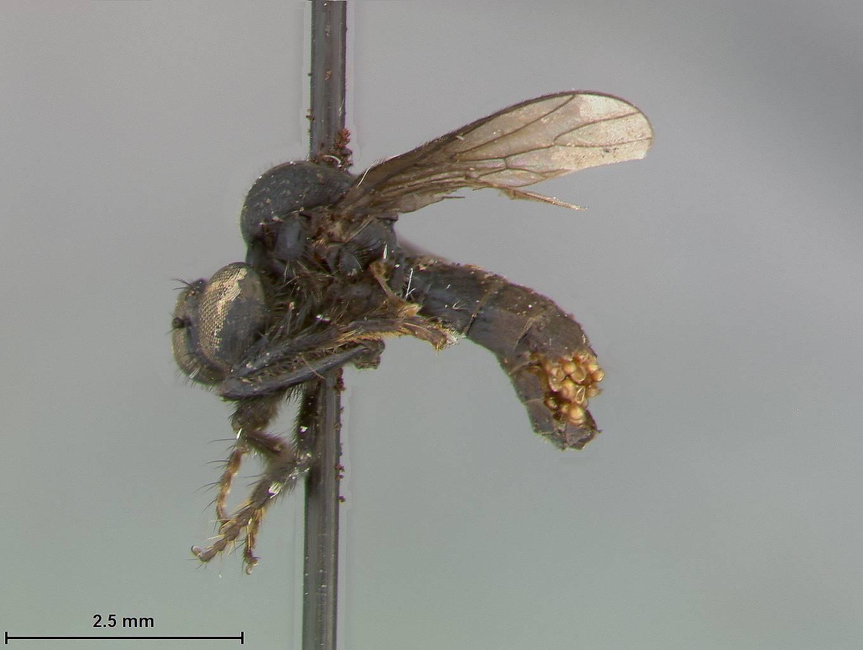 Image of <i>Trigonomima canifrons</i> Enderlein 1914