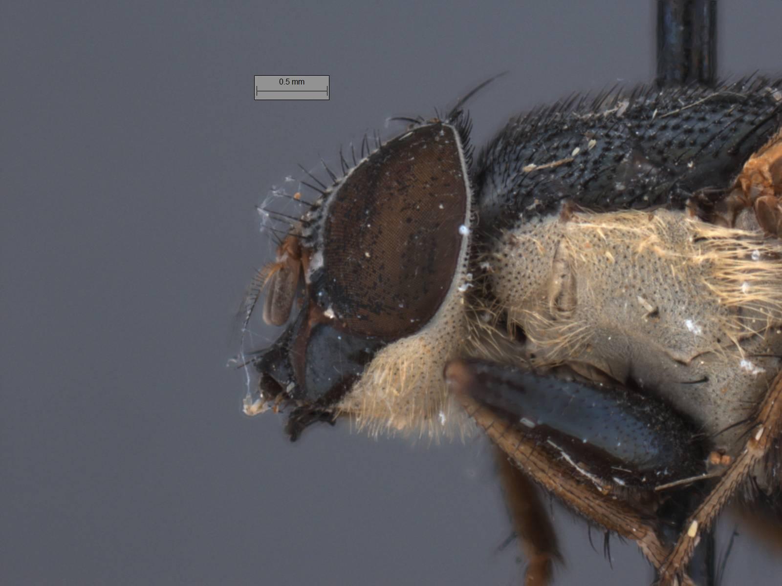 Image of <i>Idiella mandarina</i> (Wiedemann 1830)