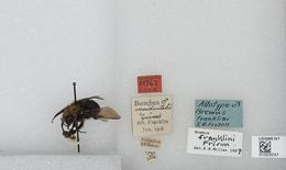 Image of Franklin's bumble bee