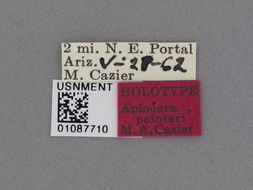 Image of <i>Apiocera painteri</i> Cazier 1963