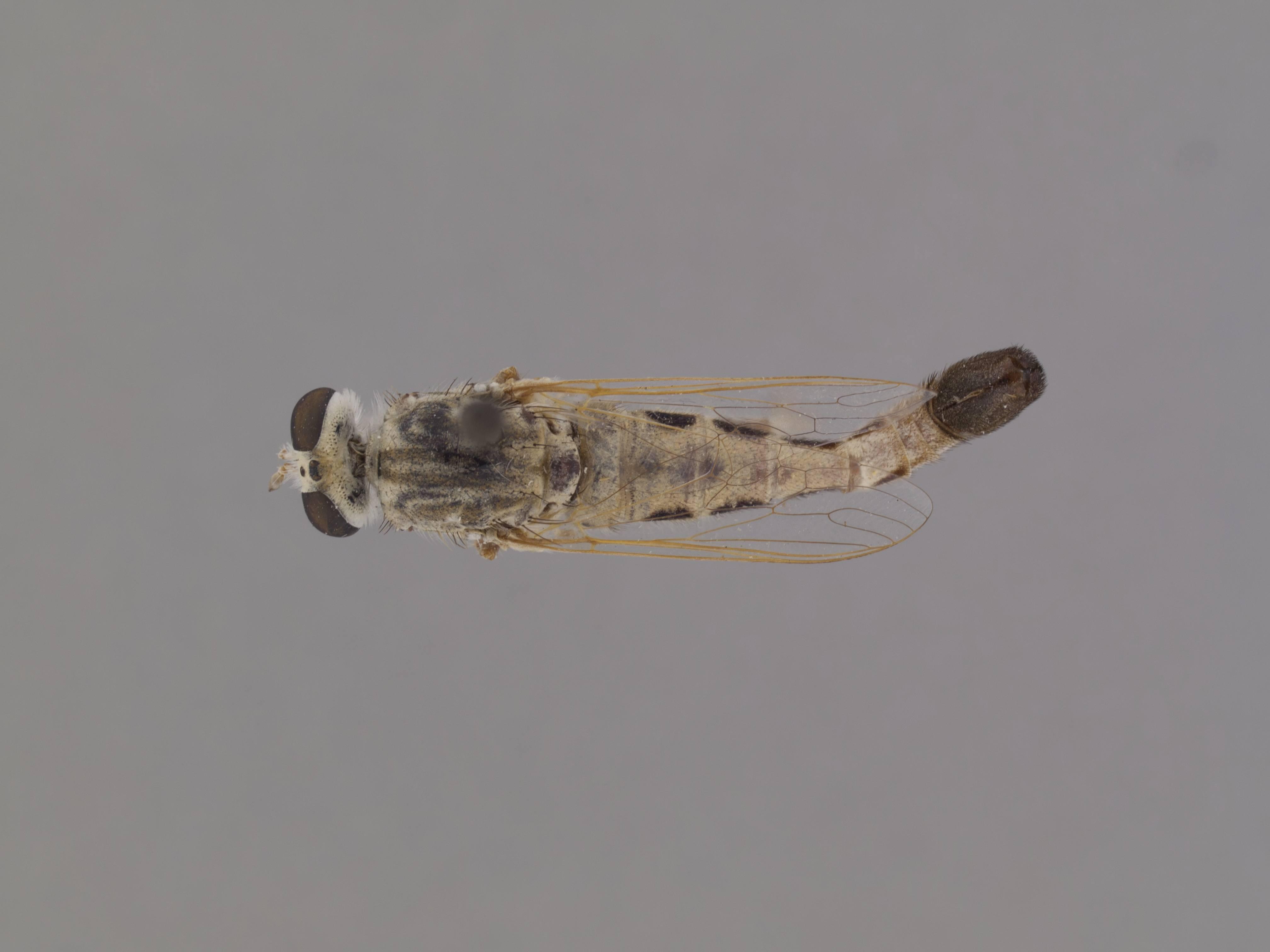 Image of <i>Apiocera melanura</i> Cazier 1941