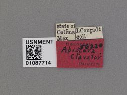 Image of <i>Apiocera clavator</i> Painter 1936