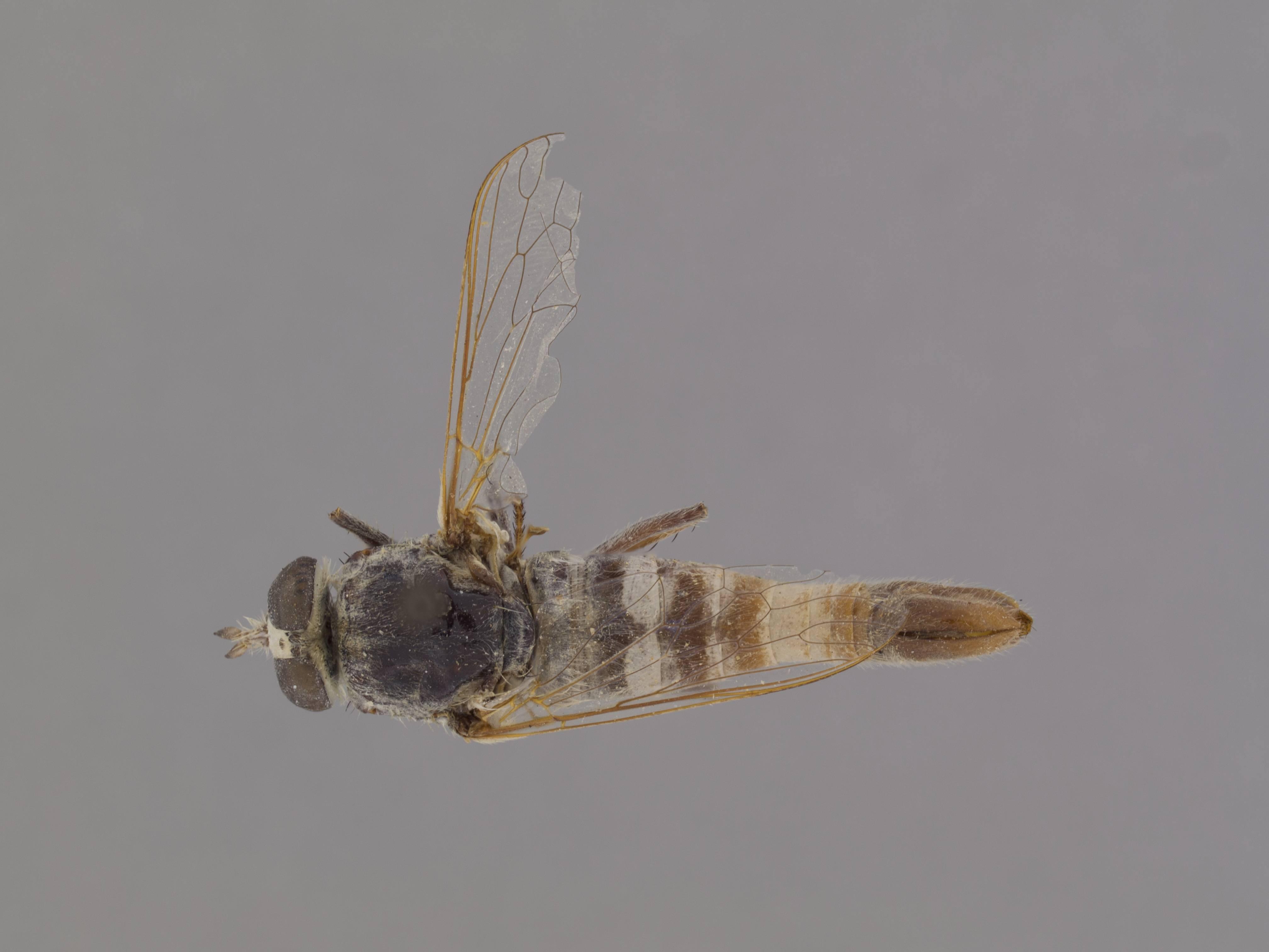 Image of <i>Apiocera caloris</i> Painter 1938