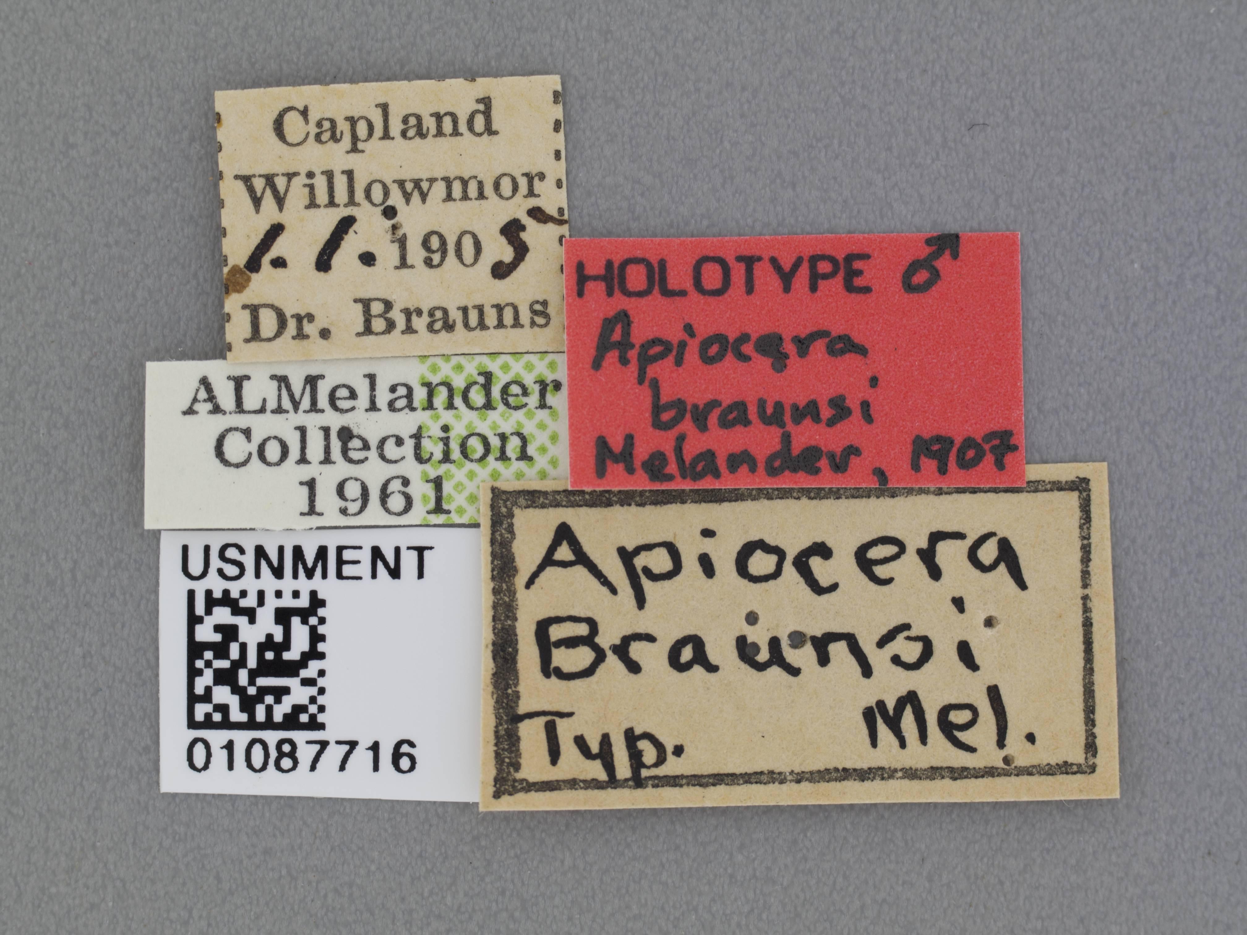 Image of <i>Apiocera braunsi</i> Melander 1907