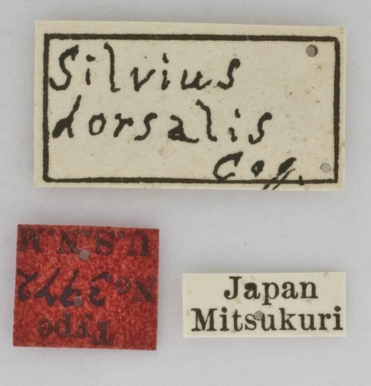 Image of <i>Silvius dorsalis</i> Coquillett 1898