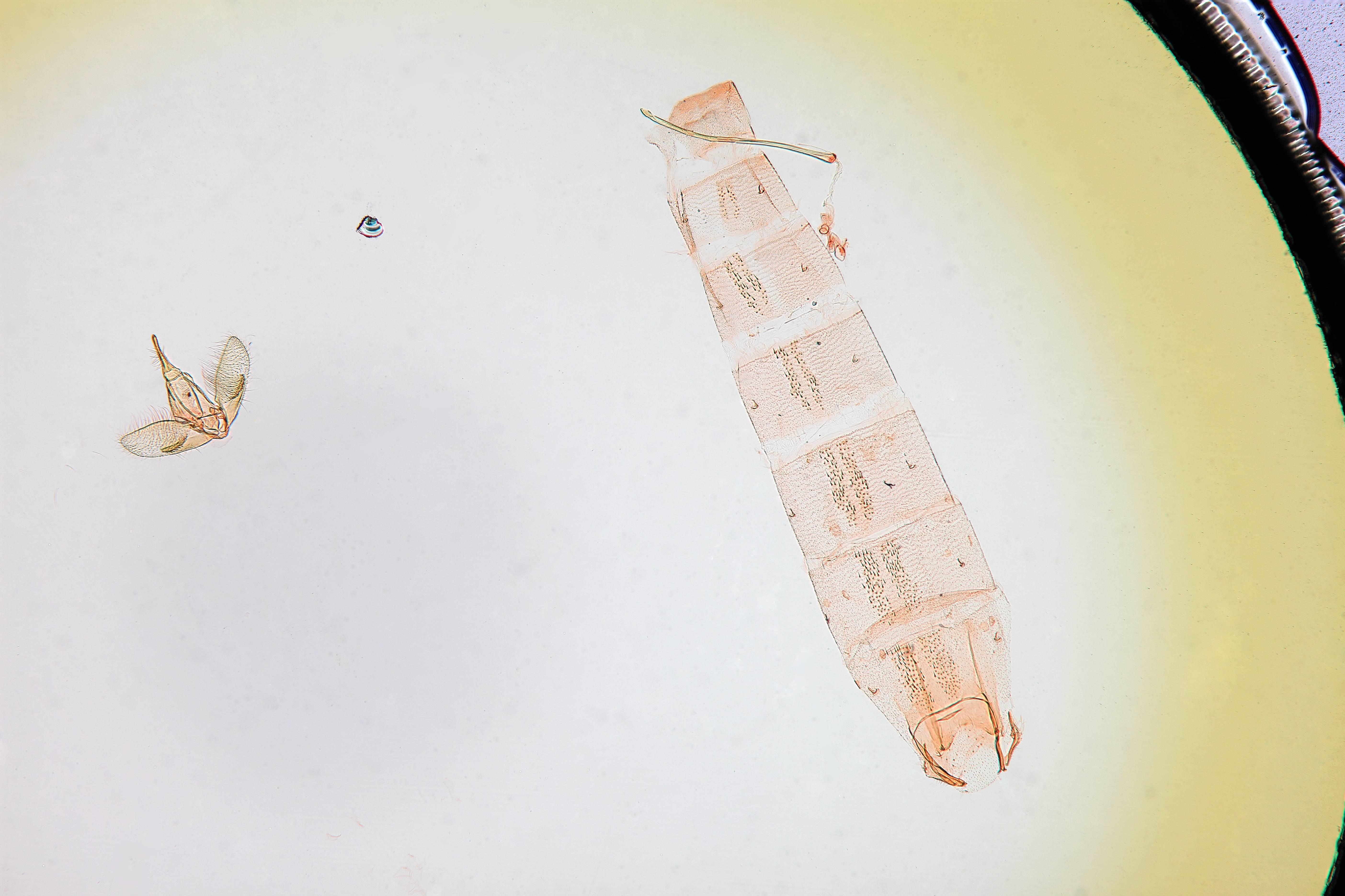 Image of <i>Batrachedra calator</i> Hodges 1966