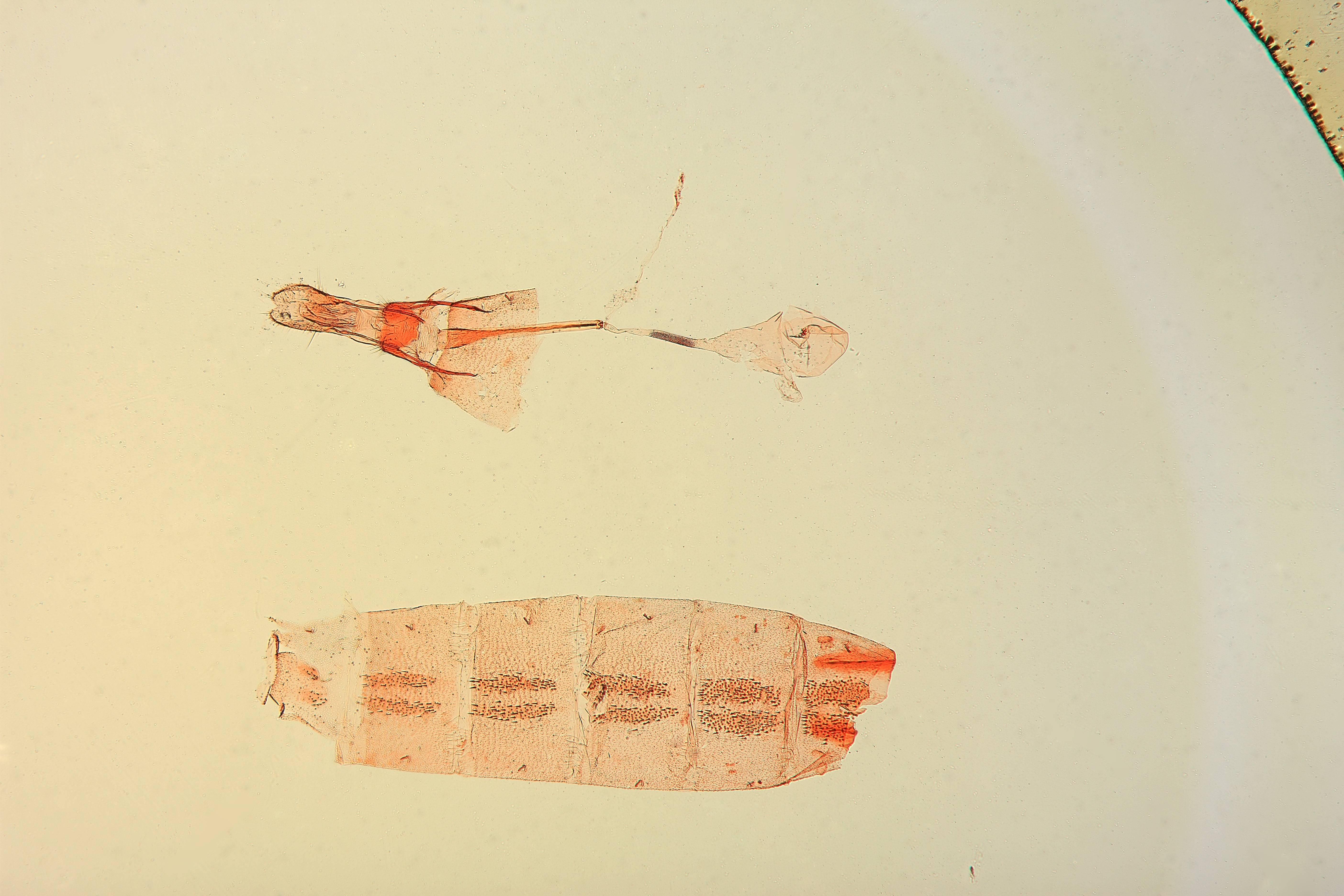 Image of <i>Batrachedra copia</i> Clarke 1957