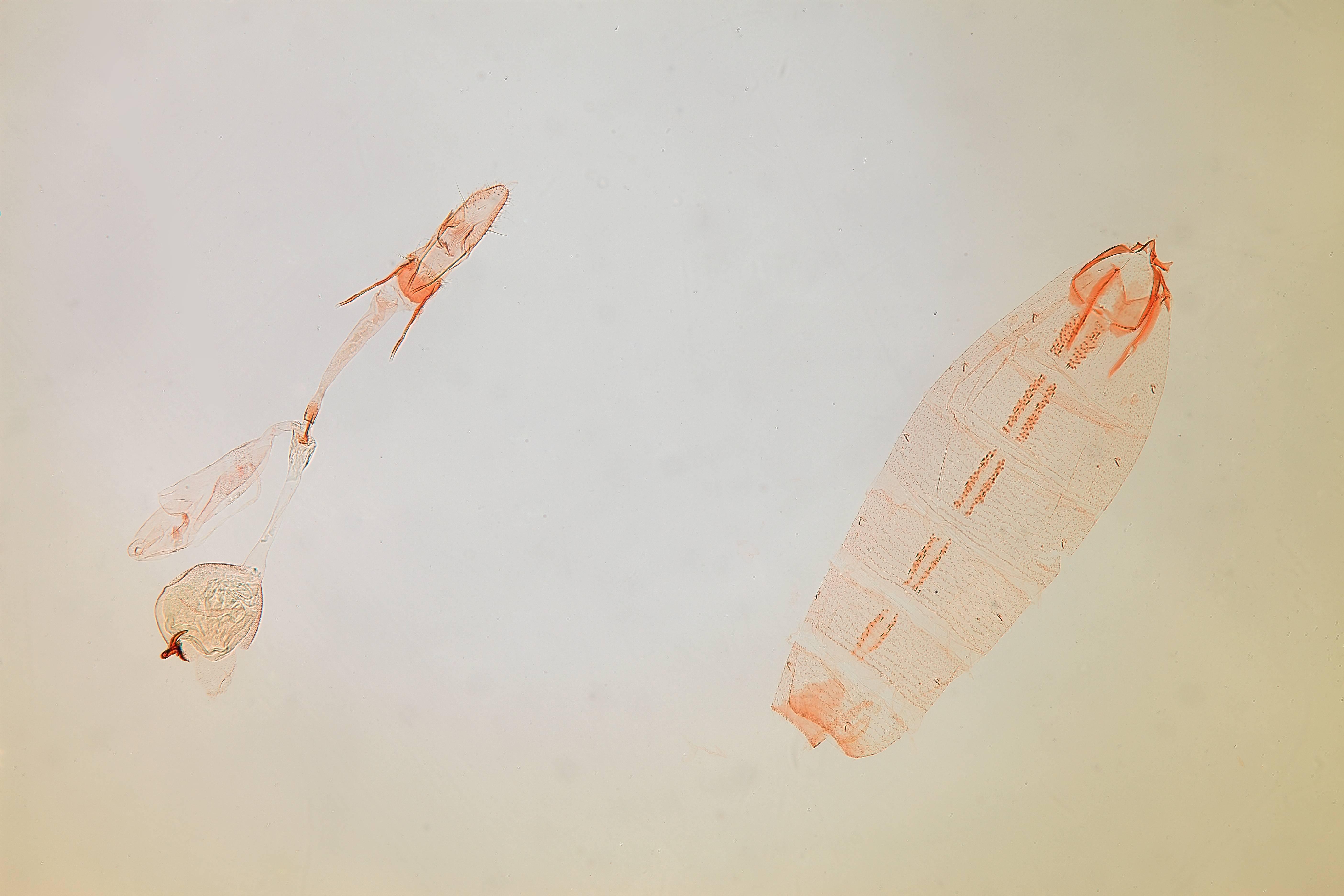 Image of <i>Batrachedra <i>decoctor</i></i> ssp. decoctor