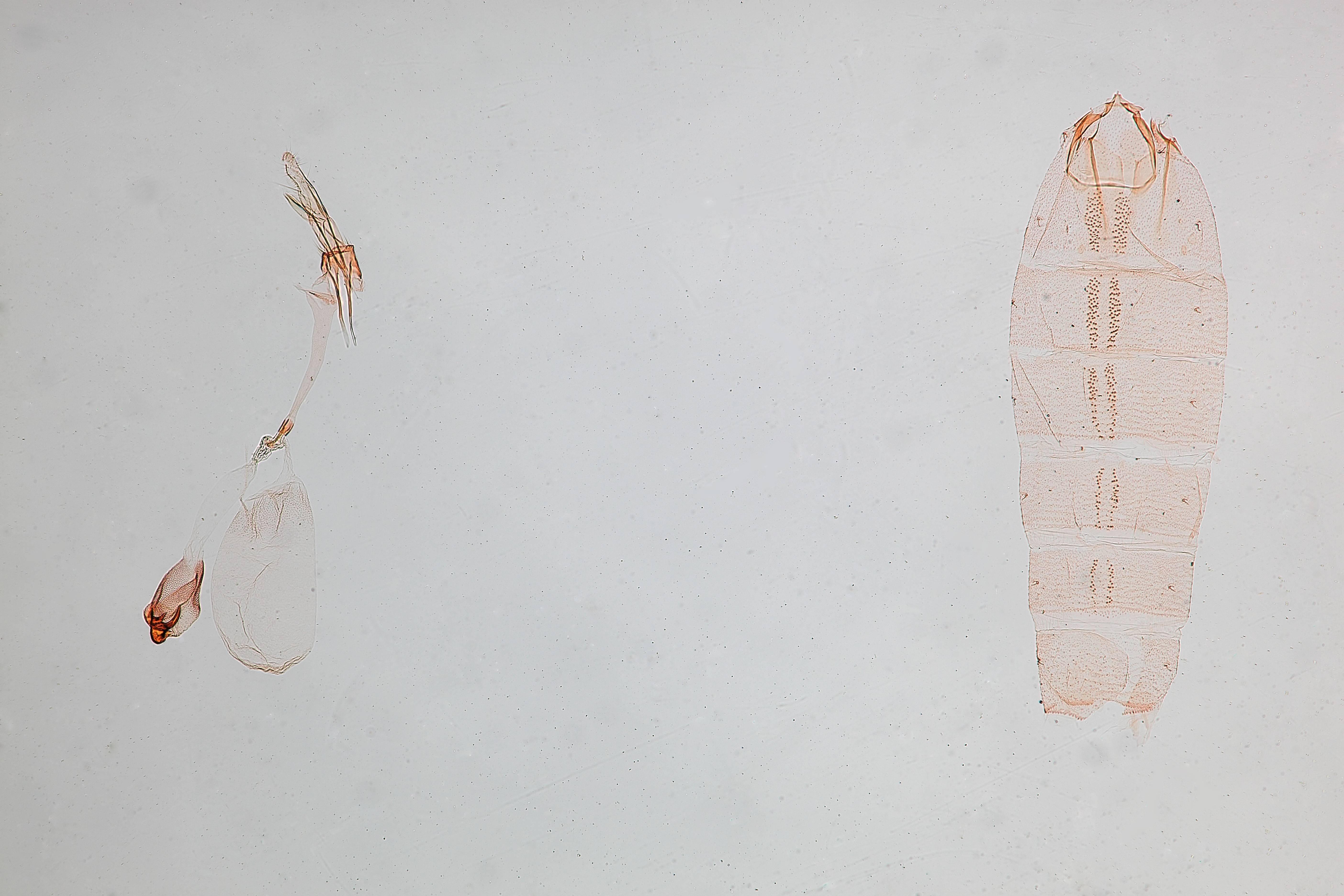Image of <i>Batrachedra decoctor</i> ssp. <i>bermidensis</i> Hodges