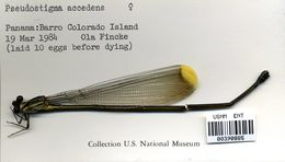 Image of <i>Pseudostigma accedens</i> Selys 1860