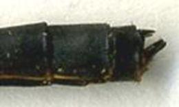 Image of <i>Microstigma anomalum</i> Rambur 1842