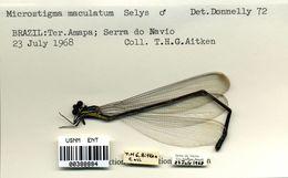 Image of <i>Microstigma maculatum</i> Hagen ex Selys 1860