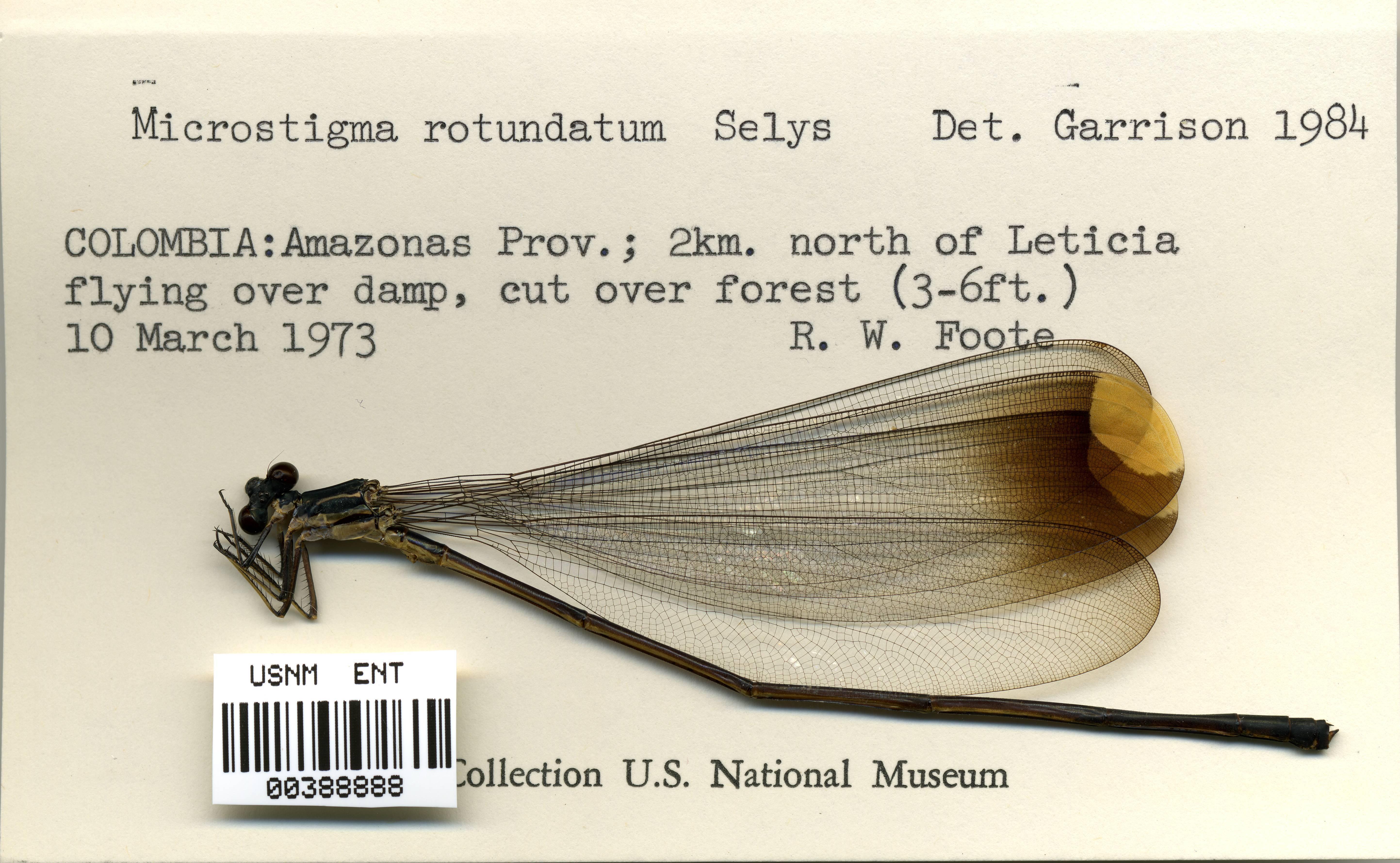 Image of <i>Microstigma rotundatum</i> Selys 1860