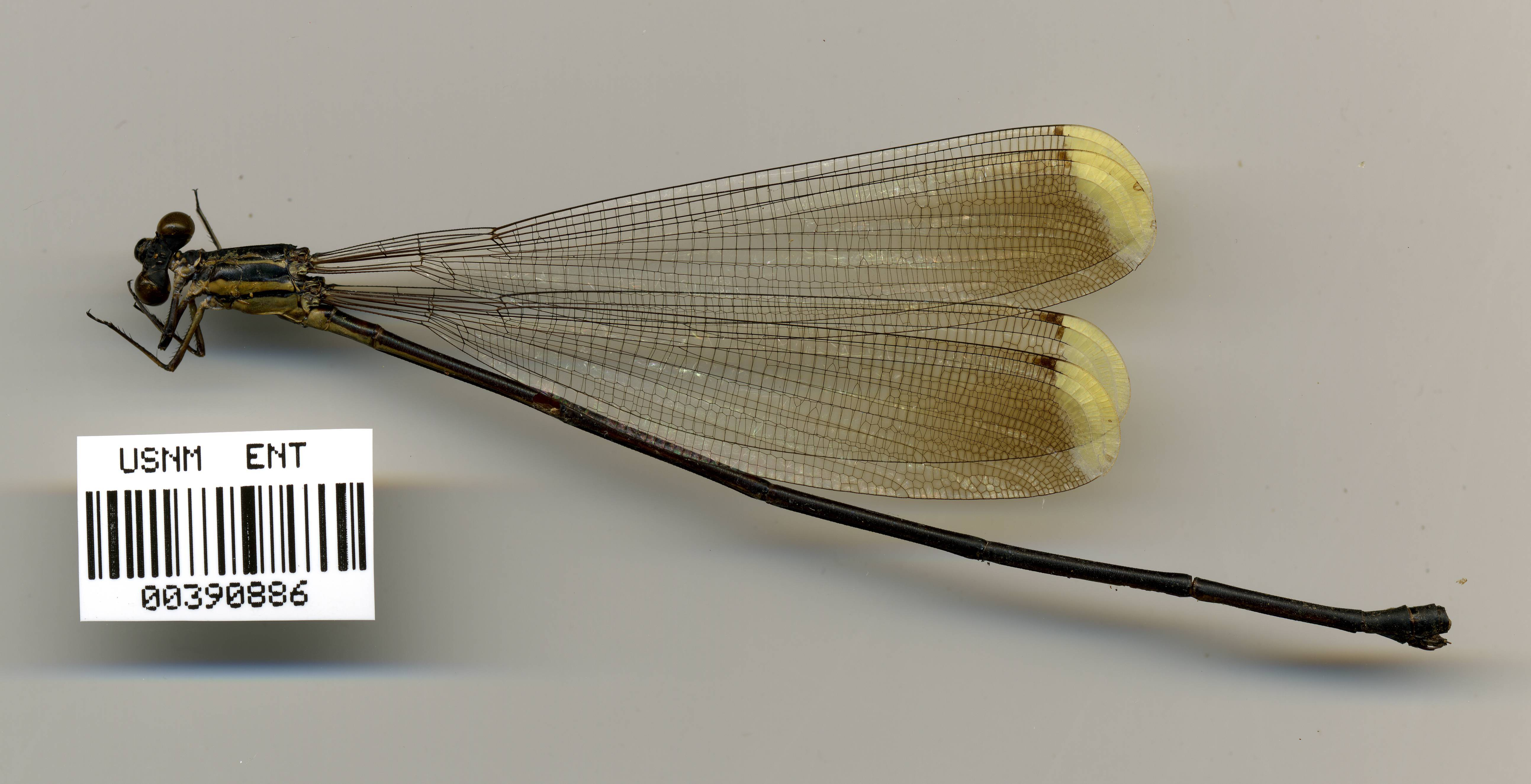 Image of <i>Pseudostigma aberrans</i> Selys 1860