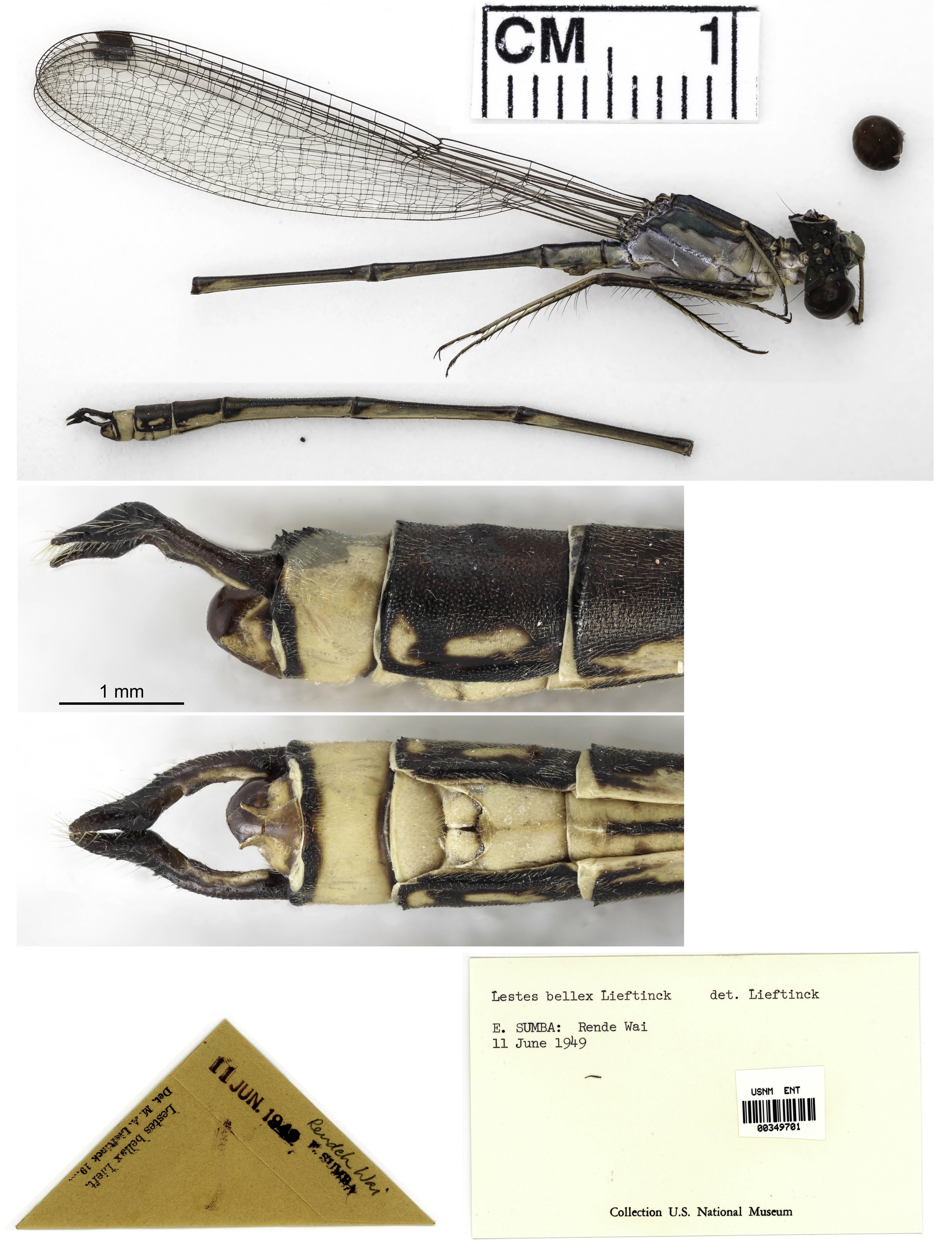 Image of <i>Indolestes bellax</i> (Lieftinck 1930)