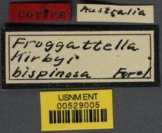 Image of <i>Froggattella kirbyi</i> var. <i>bispinosa</i> Forel