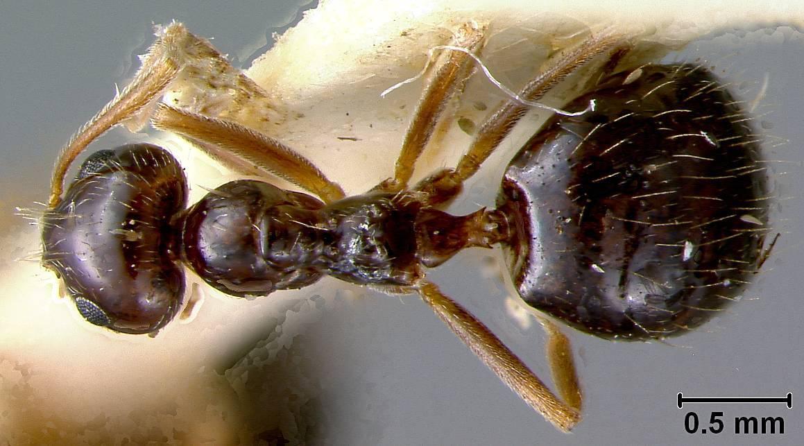 Image of <i>Prenolepis imparis</i> var. <i>californica</i> Wheeler