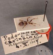 Image of <i>Podomyrma carinata</i> Donisthorpe 1947