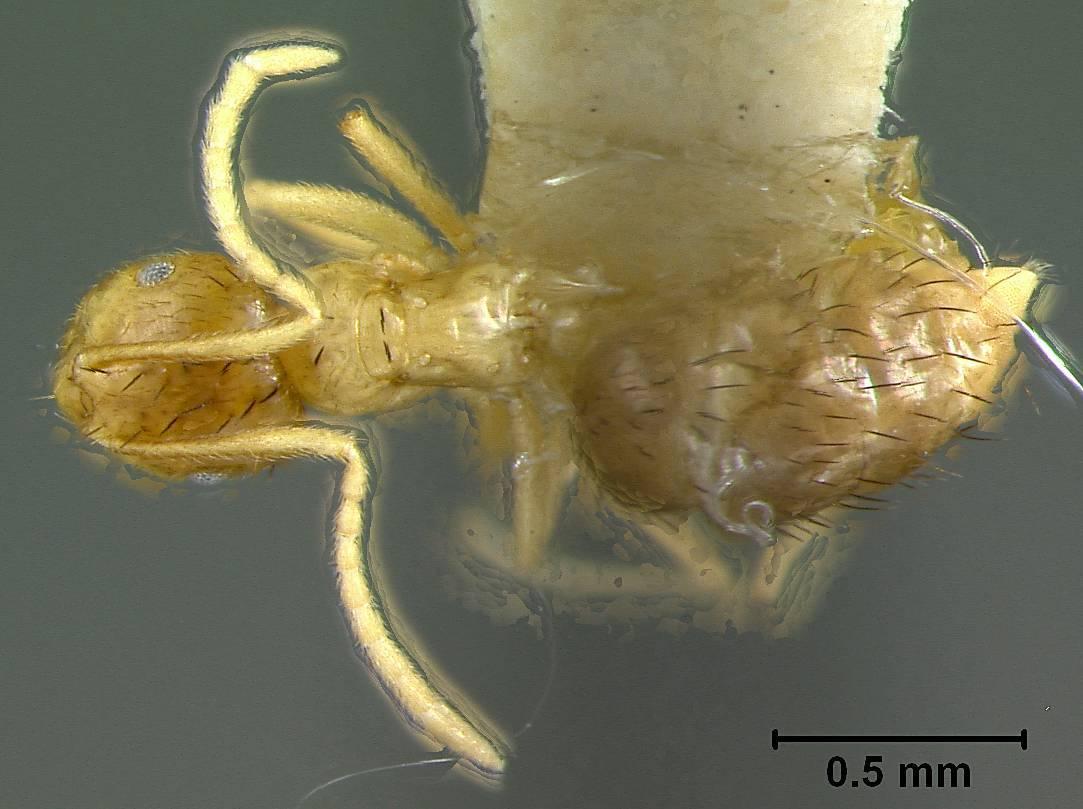 Image of <i>Brachymyrmex cavernicola</i> Wheeler 1938
