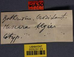 Image of <i>Bothriomyrmex crosi</i> Santschi 1919
