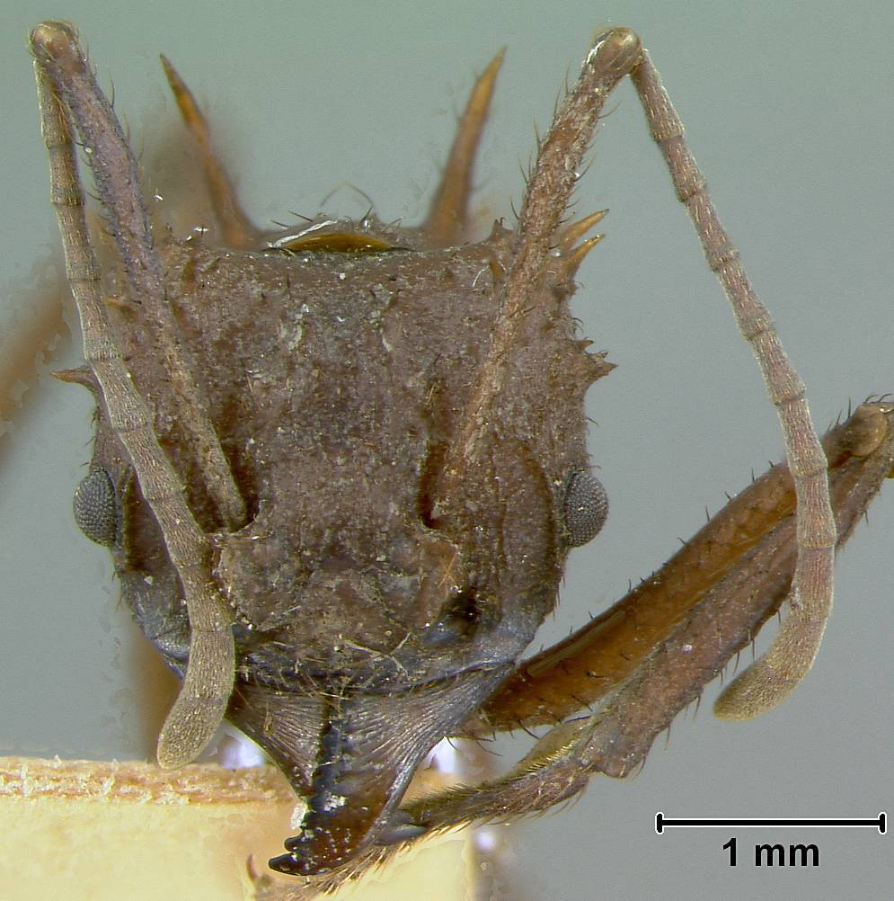 Image of <i>Acromyrmex octospinosus cubanus</i> Wheeler 1937
