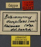 Image of <i>Bothriomyrmex decapitans</i> Santschi 1911