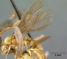 Image of <i>Allomerus octoarticulatus demerarae</i> Wheeler 1935