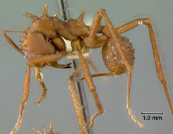Image of <i>Acromyrmex octospinosus</i> (Reich 1793)
