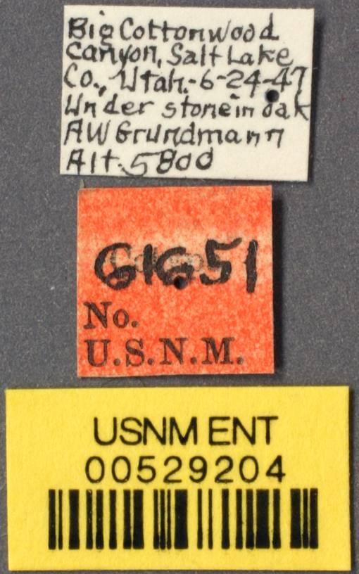 Image of <i>Brachymyrmex depilis</i> ssp. <i>flavescens</i> Grundmann