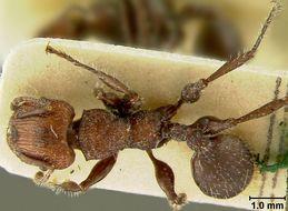 Image of <i>Podomyrma fortirugis</i> Viehmeyer 1924