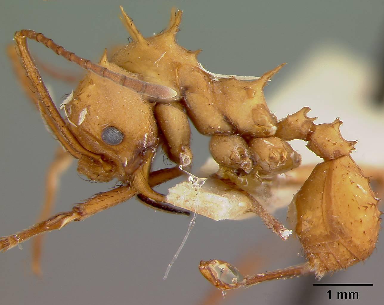 Image of <i>Acromyrmex octospinosus inti</i> Wheeler 1937