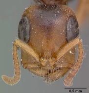 Image of <i>Tetraponera morquerysi</i> var. <i>lepida</i> Wheeler