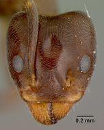 Image of <i>Liometopum apiculatum</i> ssp. <i>luctuosum</i> Wheeler