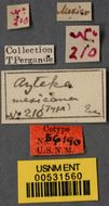 Image of <i>Azteca instabilis mexicana</i> Emery 1896