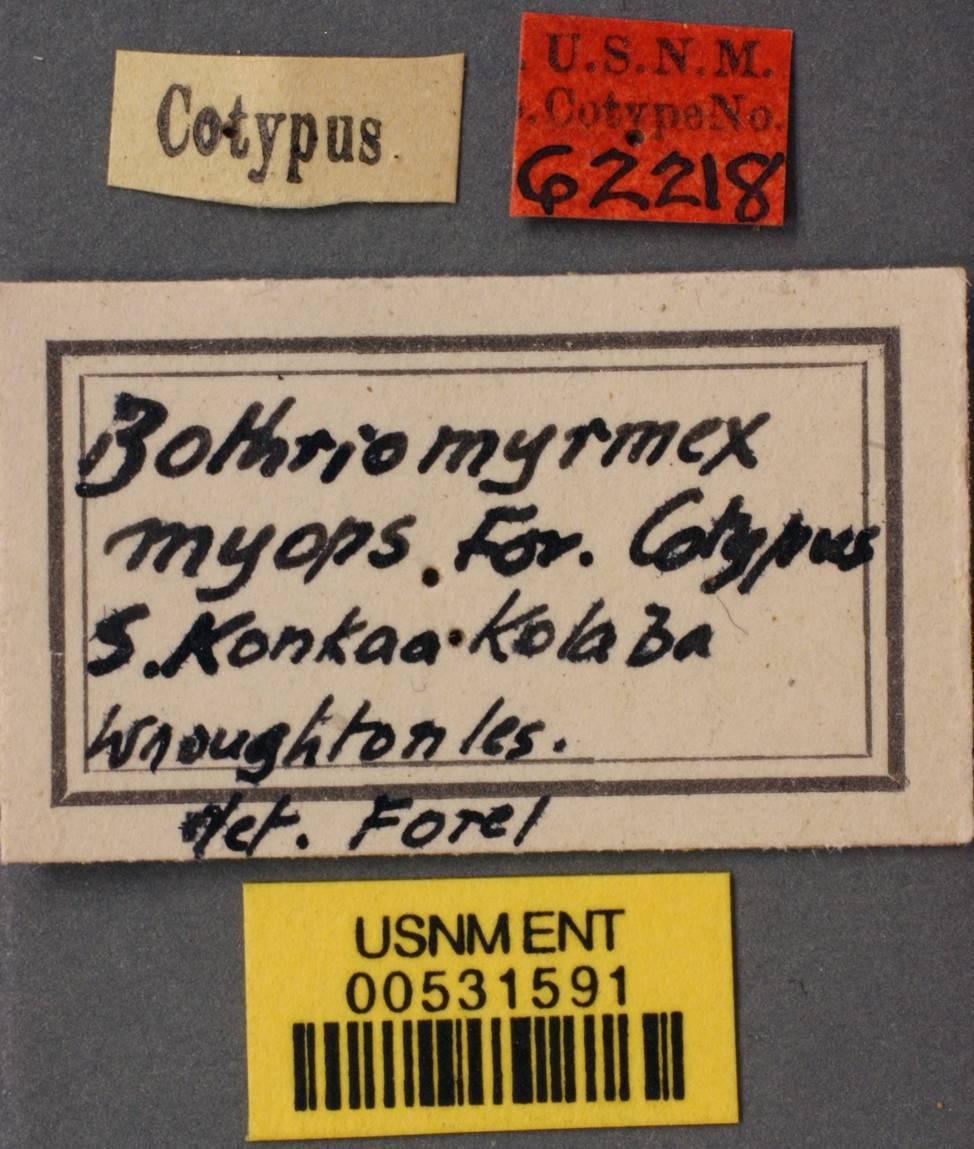 Image of <i>Bothriomyrmex myops</i> Forel 1895
