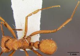 Image of <i>Trachymyrmex nogalensis</i> Byars 1951