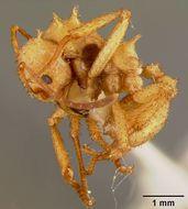 Image of <i>Acromyrmex octospinosa</i> var. <i>pallida</i> Crawley