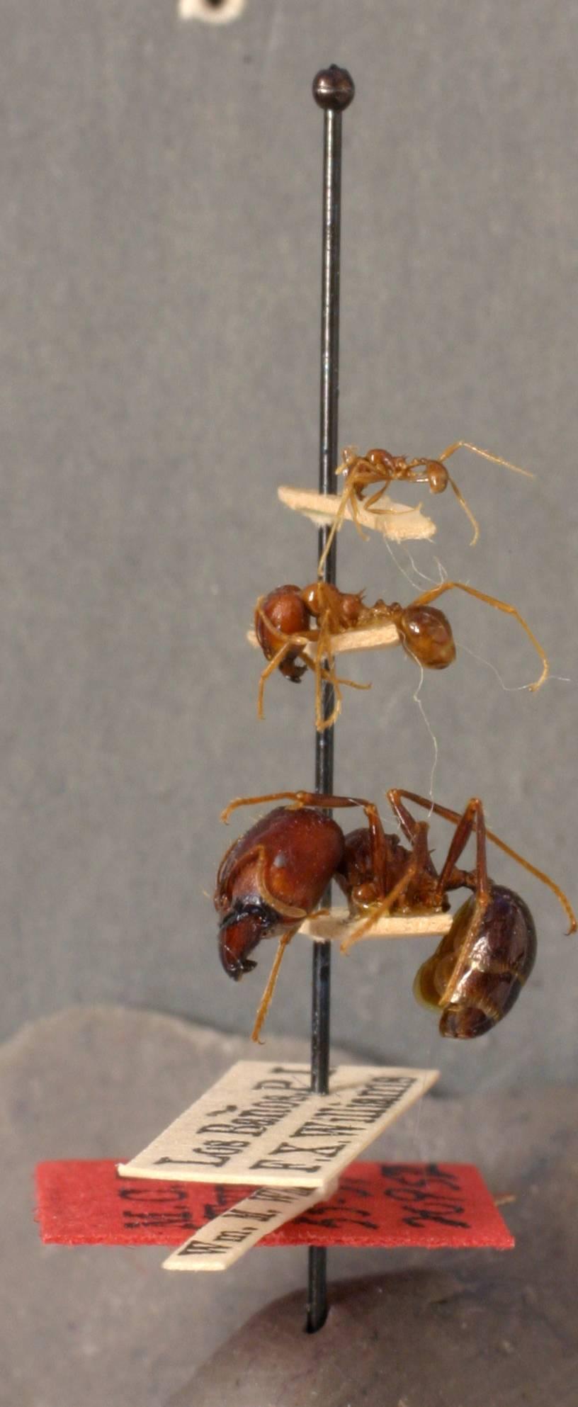 Image of <i>Pheidologeton diversus philippinus</i> Wheeler 1929