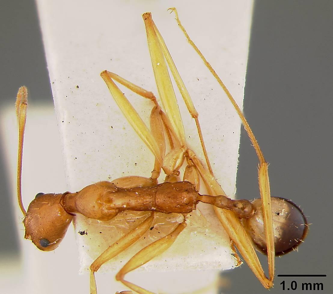 Image of <i>Aphaenogaster phillipsi</i> Wheeler & Mann 1916