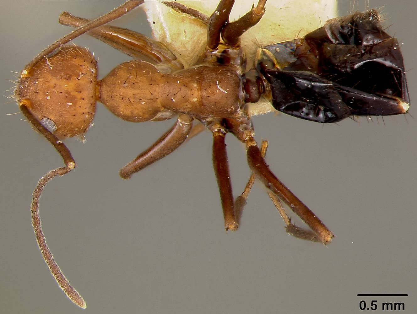 Image of <i>Prenolepis gibberosa rogeri</i> Mann 1920