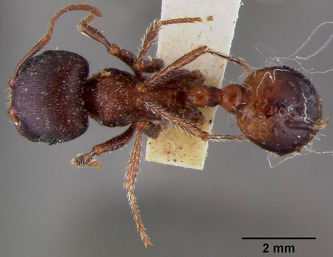 Red Harvester Ant Encyclopedia Of Life