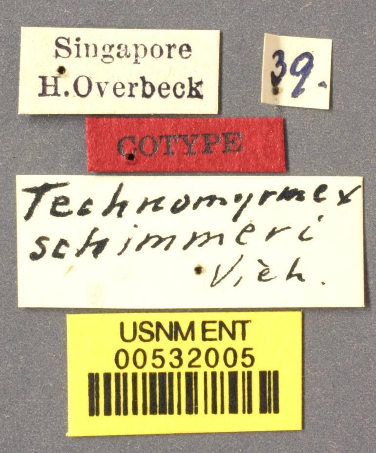 Image of <i>Technomyrmex schimmeri</i> Viehmeyer 1916