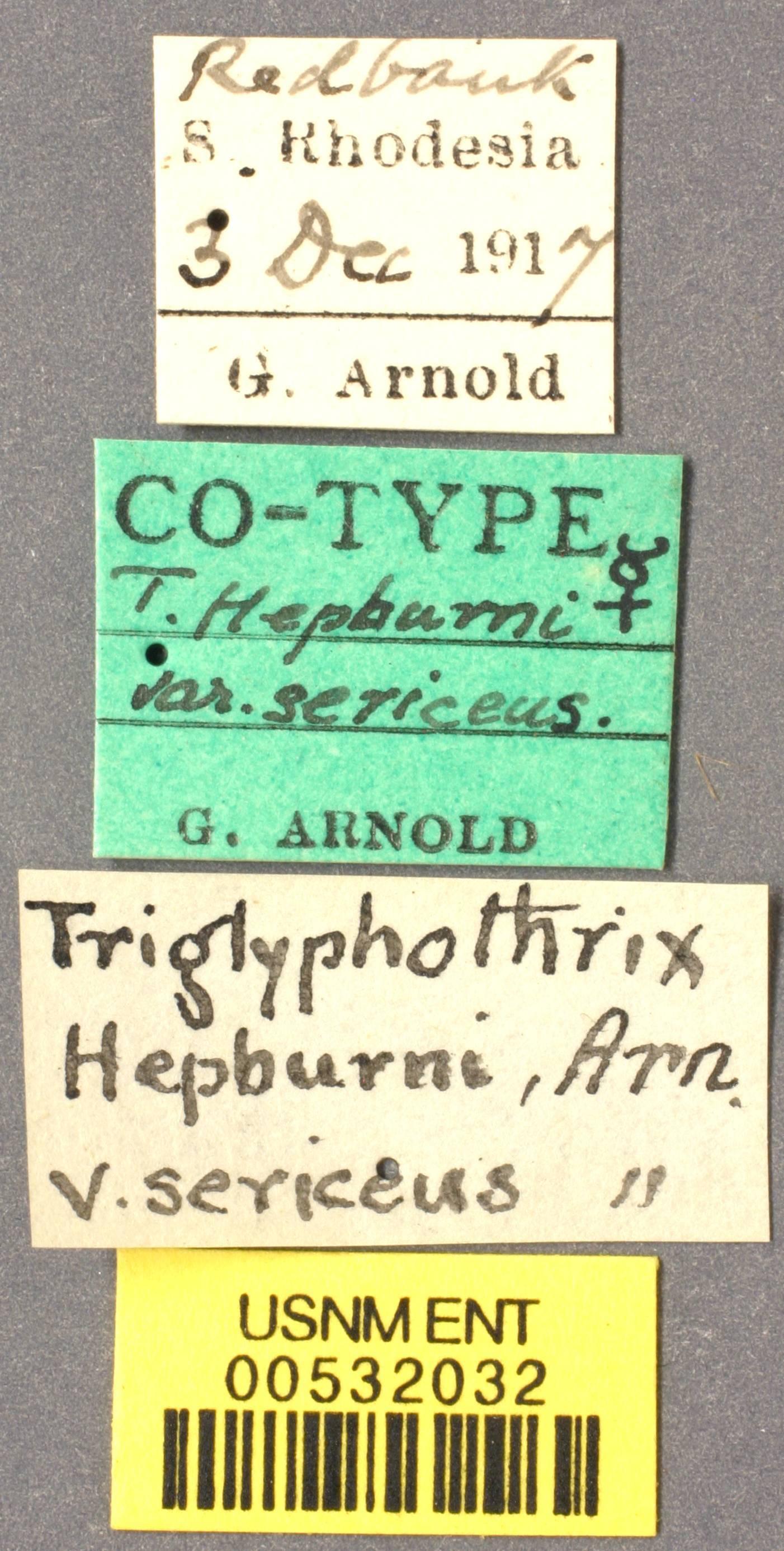 Image of <i>Tetramorium hepburni</i> var. <i>sericeus</i> Arnold