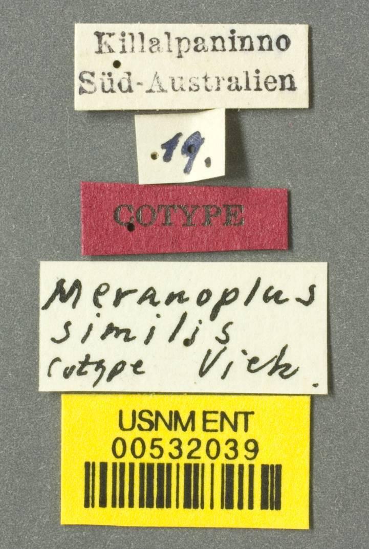 Image of <i>Meranoplus similis</i> Viehmeyer 1922