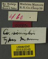 Image of <i>Azteca fasciata similis</i> Mann 1916